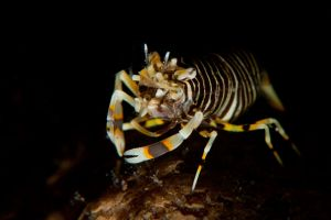 Bumblebee-Shrimp.jpg