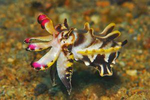 Flamboyant_Cuttlefish.JPG