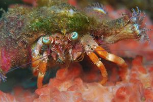 Anemon_Hermit_Crab.JPG