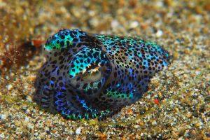 Berry_s_Bobtail_Squid.JPG