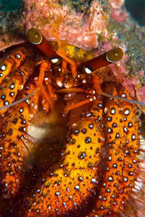 White-Spooted-Hermit-Crab.jpg