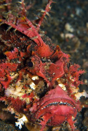 Spiny-Devilfish.jpg