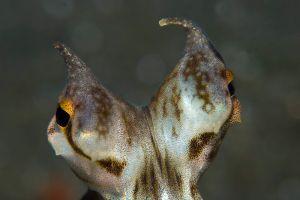 Mimic-Opctopus-Eyes.jpg