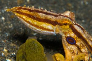 Poison-Ocellate-Octopus-(2).jpg