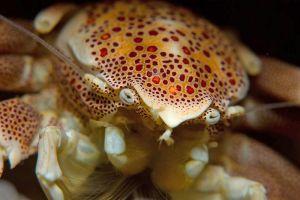 Spotted-Porcelain-Crab.jpg